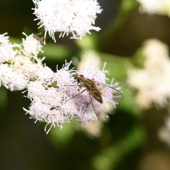 unknown_mosquito_or_fly_pollinator_FLAAR_garden